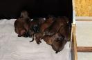 BGS-Tews | Welpen 19.08.2013| Bayerischer Gebirgsschweißhund