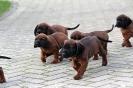 BGS-Tews | Welpen 16.09.2013| Bayerischer Gebirgsschweißhund