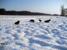 reinrassige Bayerische Gebirgsschweißhunde - Welpen ohne Papiere