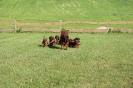BGS-Tews | Welpen 28.10.2013| Bayerischer Gebirgsschweißhund