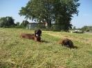 BGS - TEWS - Bayerische Gebirgsschweißhunde