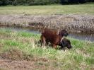 BGS - TEWS - Bayerische Gebirgsschweißhunde_2