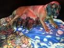 BGS-Tews | Welpen gewölft am 29.07.2013 | Bayerischer Gebirgsschweißhund